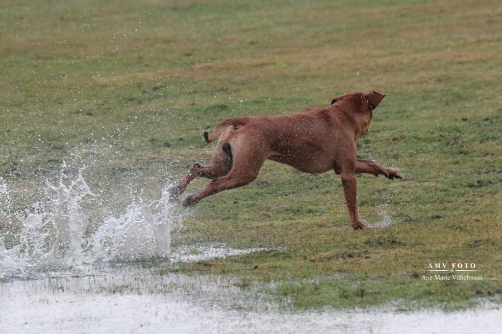 Vand betyder intet når der er lure-coursing